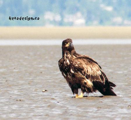 Juvenile Bald Eagle Close Up