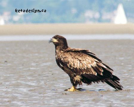 Juvenile Bald Eagle Profile
