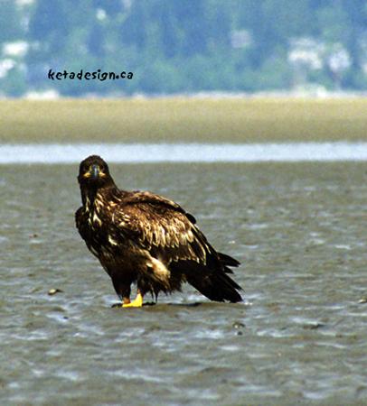 Juvenile Bald Eagle Looks at Me
