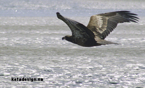 Juvenile Bald Eagle Fly By