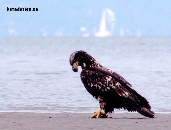 Juvenile Bald Eagle New1
