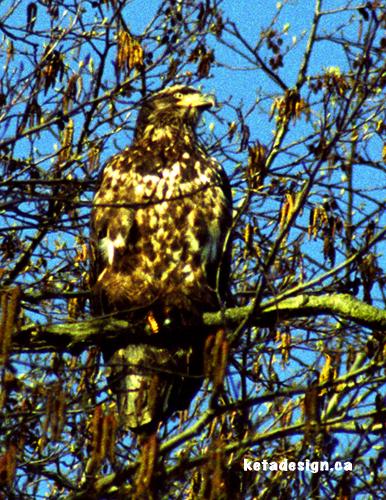 Juvenile Bald Eagle Tree2