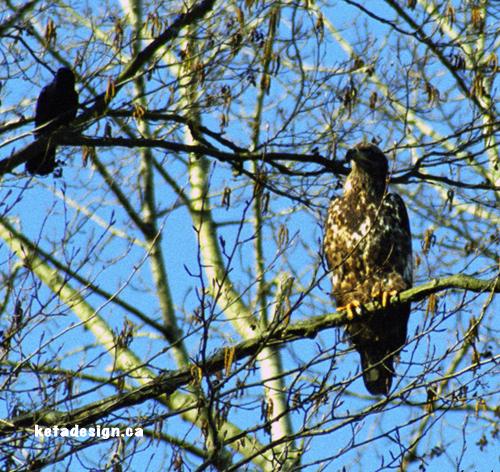 Juvenile Bald Eagle Tree3