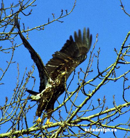 Juvenile Bald Eagle Tree4