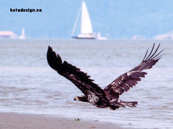 Juvenile Bald Eagle New2