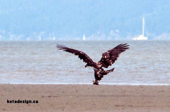 Juvenile Bald Eagle New3
