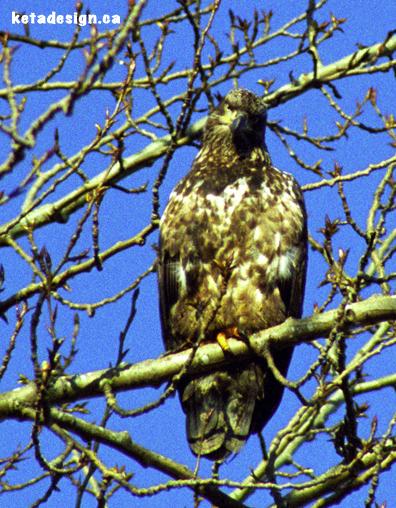Juvenile Bald Eagle Tree1