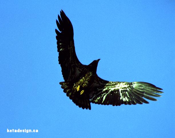 Juvenile Bald Eagle Tree6