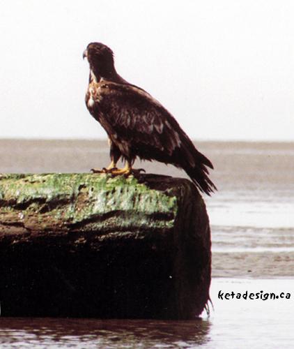 Juvenile-Bald-Eagle-Log2