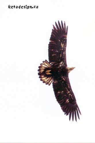 Juvenile-Bald-Eagle-Overhead