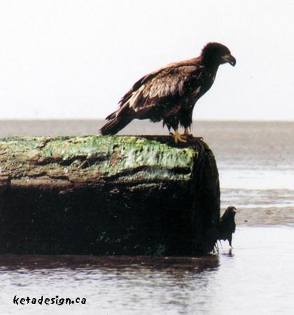 Juvenile-Bald-Eagle-Log
