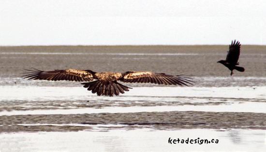 Juvenile-Bald-Eagle-And-Crow