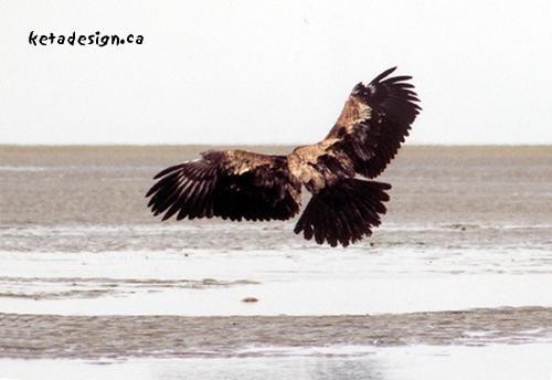 Juvenile-Bald-Eagle-Landing