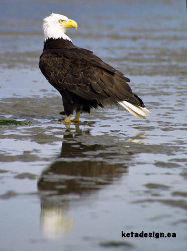 Bald Eagle Close 3