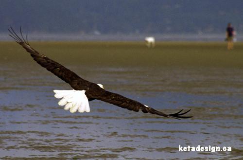 Bald Eagle Close 4