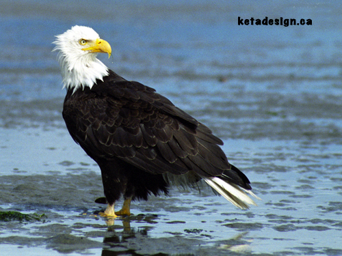 Bald Eagle Close 1