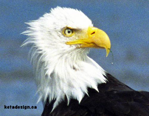 Bald Eagle Close 2