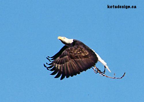 Bald Eagle Mates4