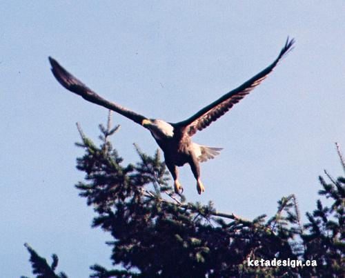 Bald Eagle Mates3