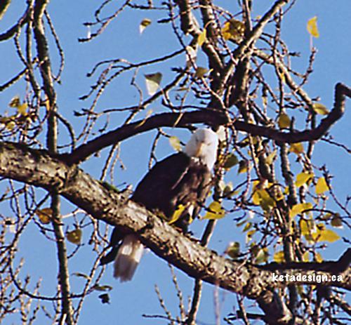 Bald Eagle Mates6