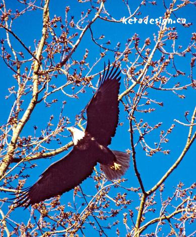 Winter_Bald_Eagle1
