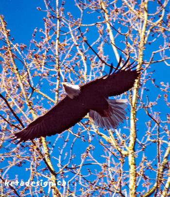 Winter_Bald_Eagle2