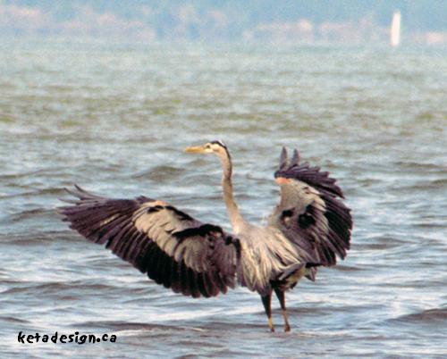 Great_Blue_Heron1