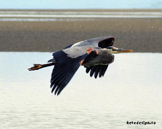 Great_Blue_Heron8