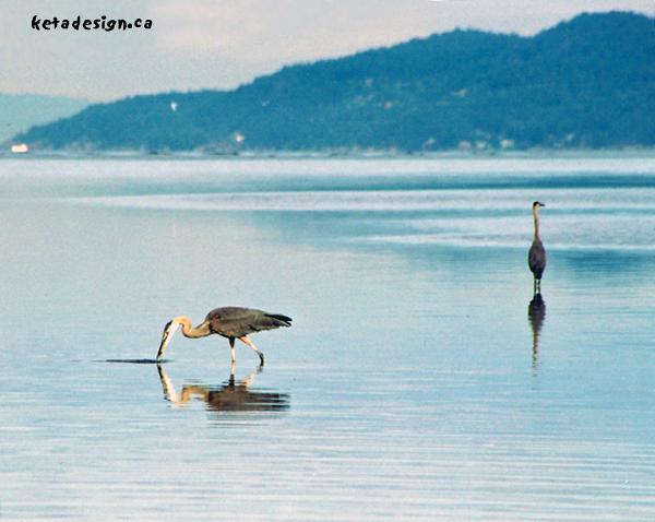 Great_Blue_Heron2