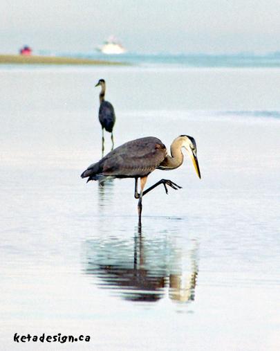 Great_Blue_Heron3