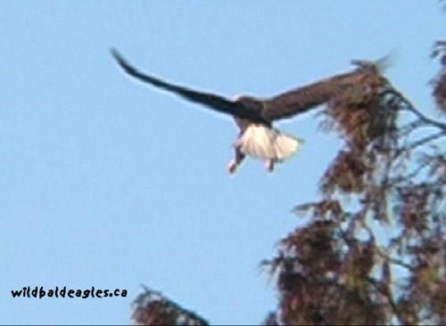 EagleFly3