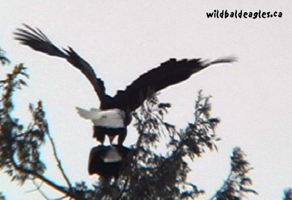 EaglesMating1