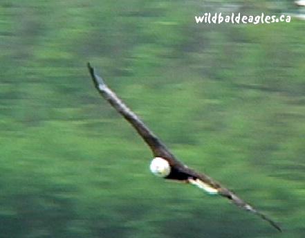 EagleFly1