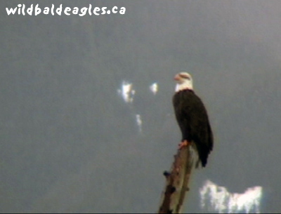 Eaglepole