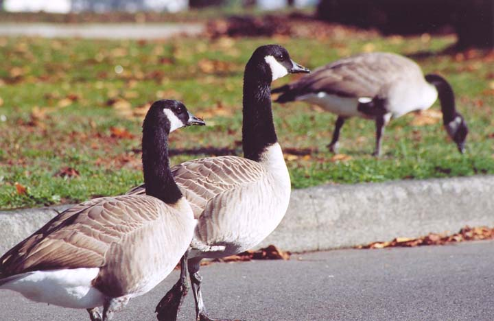 Geese3