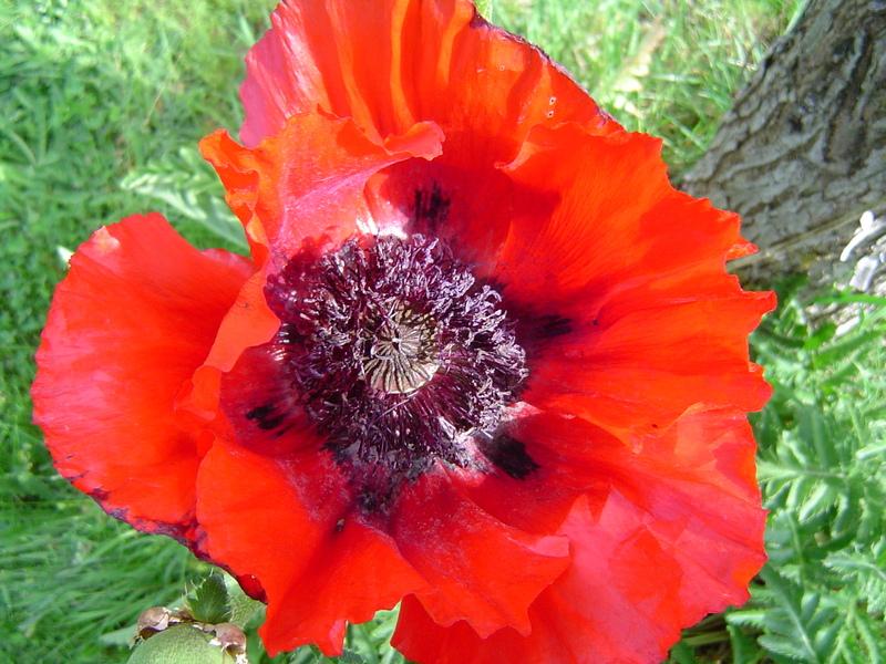 Poppies1_1