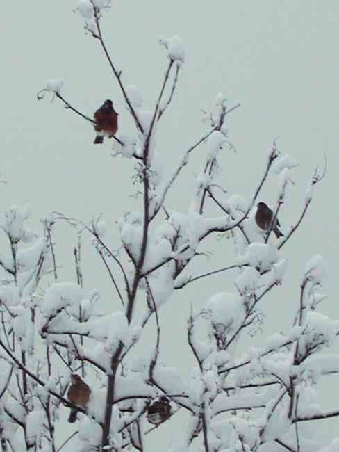 Snowbirdies